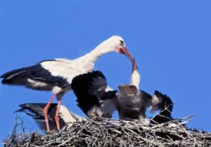 Polske fugler